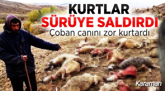 Karaman'da aç kurtlar sürüye ve çobana saldırdı